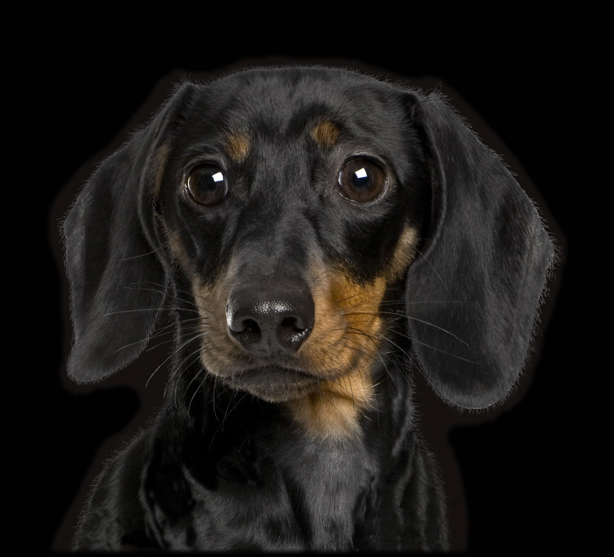 Black Dachshund Related Keywords & Suggestions - Black Dachshund Long ...